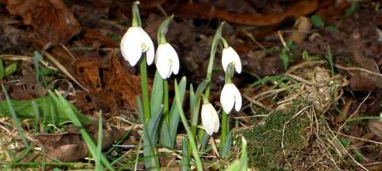 92-11th-feb-first-snowdrops-of-the-year