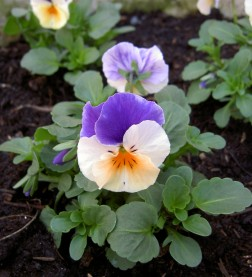 155 13th Apr Newly planted violas