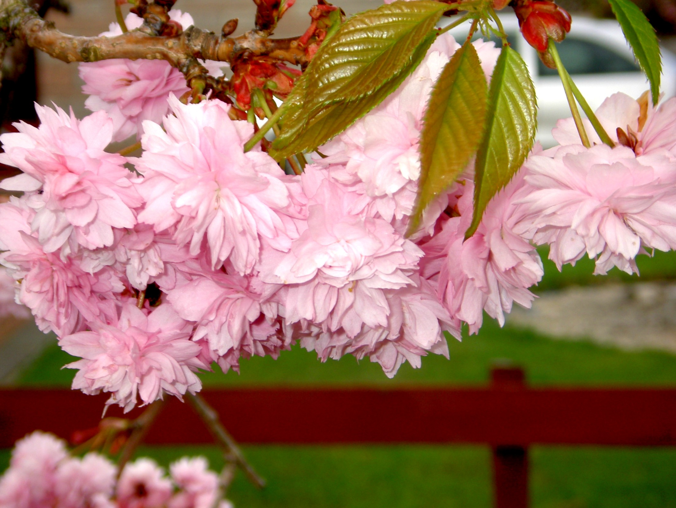 177 4th May Cherry blossom
