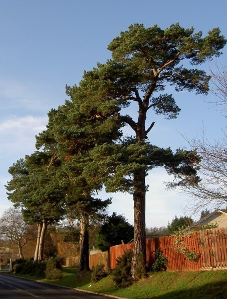 A row of Scots pines