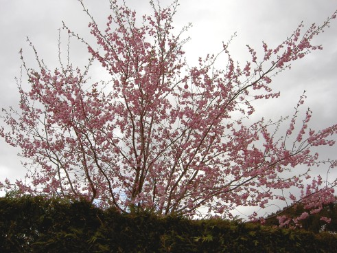 Hedge with tree